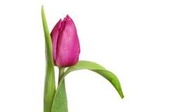 Plan rapproché pourpre de tulipe Photo libre de droits