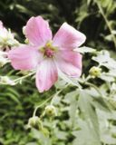 Plan rapproché rose de fleur Images libres de droits