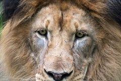 Plan rapproché sur le visage masculin de lions (Panthera Lion) Image stock