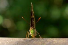 Plan rapproch? ? un beau et color? papillon vert photos libres de droits
