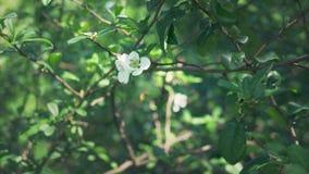 Plan rapproch? Une branche de fleurir le coing japonais avec le fruit vert Buisson de fruit avec de belles fleurs blanches et ver photographie stock libre de droits