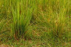 Plan rapproché vert de Savannah Grasses Photo stock