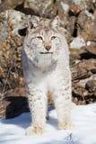 Plan rapproché vertical de Nord-américain Lynx Photographie stock