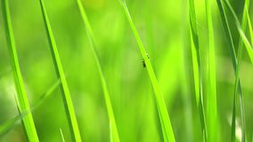 Plan rapproch? vibrant d'herbe verte Instruction-macro d'herbe verte Le fond naturel abstrait de l'herbe verte et de la beaut? a  banque de vidéos