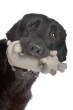 plan retriever för bestruken hund Royaltyfri Bild