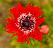 Plan view of red wildflower Royalty Free Stock Photo