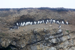 Planar small colony of thick-billed murres - basis of many birds rookery Stock Image