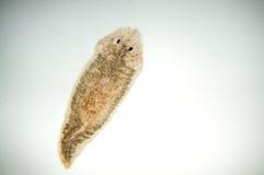 Planaria扁虫 免版税图库摄影