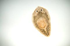 Planaria扁虫 免版税库存照片