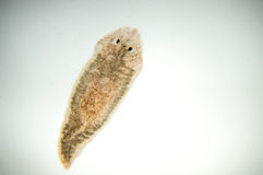 Planaria flatworm royalty-vrije stock fotografie