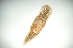 Planaria flatworm Stock Images