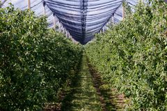 Planatage of the fruit plants with protective net above, protective net for extreme weather. Protective net above the plants, raws of fruit trees, orchard with royalty free stock photography