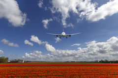 A plane and the Tulip Bulb Farms. A Boeing 787 landing on a typical Spring Dutch Country side landscape and tulip bulb farm Stock Photo