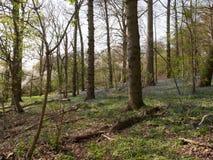 plancher en bois de terre de ressort intérieur avec l'élevage de jacinthes des bois Photos stock