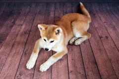 Plancher mignon d'Akita Dog Resting On The de Japonais Photos libres de droits