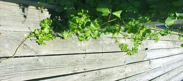 Planches d'Ivy Vine Growing Over Wooden photographie stock
