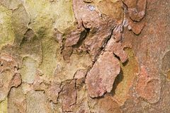 Plane background. Macro of the bark of a sycamore tree as background Royalty Free Stock Image