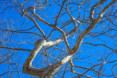 Plane Branches against a blue sky Royalty Free Stock Photo