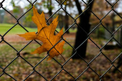 Plane leaf in a fence Royalty Free Stock Image