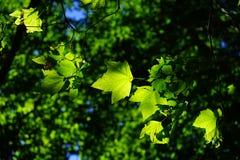 Plane, Leaves, Tree, Green, Bright Stock Image