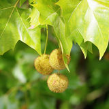 Plane (Platanus) tree, sycamore leaves and fruits Royalty Free Stock Images