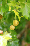 Plane (Platanus) tree, sycamore leaves and fruits Stock Images