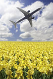 Plane takeoff. Over a yellow flower field royalty free stock photography