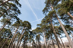 Plane trails in the sky in forest Royalty Free Stock Images