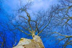 Plane tree Stock Image