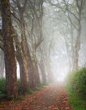 Plane tree alley in mist Royalty Free Stock Image