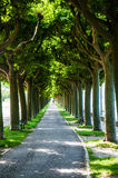 Plane tree alley Stock Photography