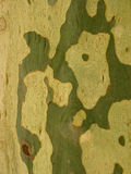 Plane tree bark Royalty Free Stock Photo