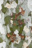 Plane tree bark close up Stock Image