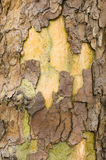 Plane tree bark close up Royalty Free Stock Photography