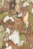 Plane tree bark close up royalty free stock images