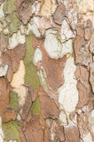 Plane tree bark close up Royalty Free Stock Photos