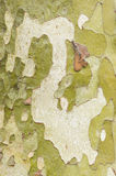 Plane tree bark close up Stock Photo