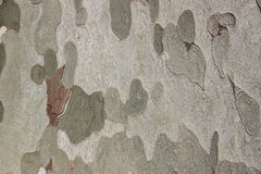 Plane tree bark closeup nature background Royalty Free Stock Images