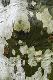 Plane tree bark detail. Wet with rainwater, Platanus Royalty Free Stock Photos