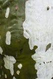 Plane tree bark detail. Wet with rainwater, Platanus Stock Image