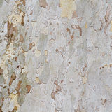 Plane tree bark Royalty Free Stock Image