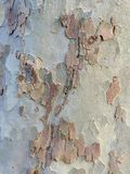 Plane Tree Bark, Natural Camouflage Pattern. Detail of flaking and finely textured plane tree bark; a natural camouflage pattern Stock Photos