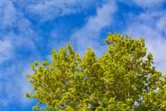 Plane tree on blue sky background. Plane tree against the blue sky Royalty Free Stock Images