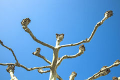 Plane tree with blue sky Stock Photo