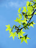 Plane tree branch with young green leaves. Royalty Free Stock Photos