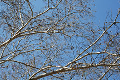 PLANE TREE BRANCHES AGAINST BLUE SKY Stock Photo