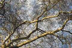 Plane tree Stock Images