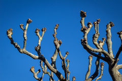 Plane tree branches Royalty Free Stock Photo