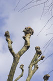 Plane tree branches over blue sky. Platanus Royalty Free Stock Photo