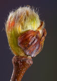Plane tree bud Royalty Free Stock Photos